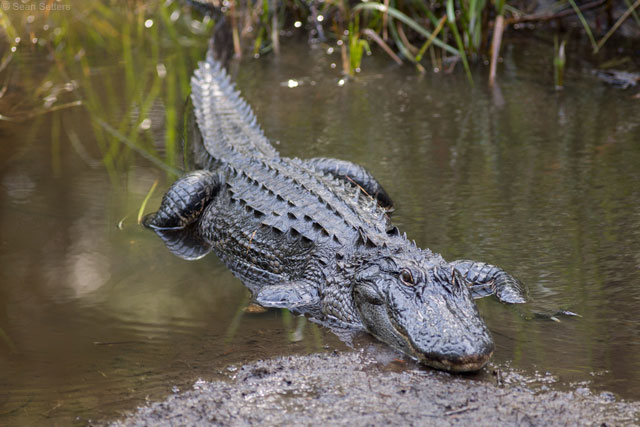 Alligator at Oatland Wildlife Center Savannah GA