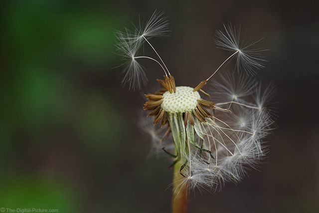Dandelion Seeds April 2015 Spring Macro