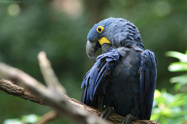 Hyacinth Macaw at Nashville Zoo