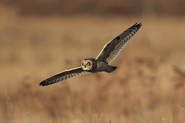 Short Eared Owl by Jonathan Huyer