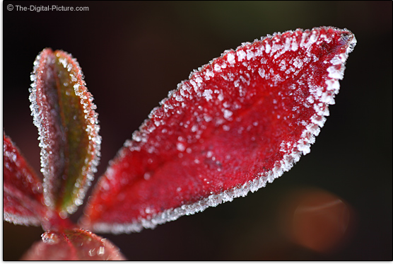 Canon EF 100mm f/2.8 L IS USM Macro Lens Sample Picture - Hoarfrosted Leaf