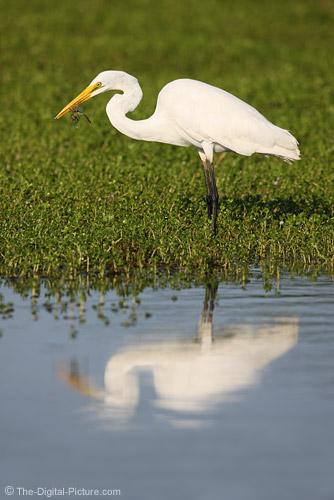 Canon EF 800mm f/5.6 L IS USM Lens Sample Photo of Great Egret With Dragonfly