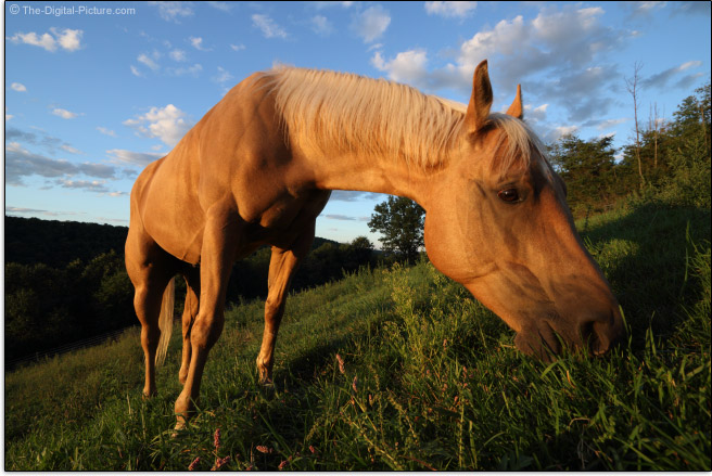 Grazing Quarter Horse Captured at 10mm