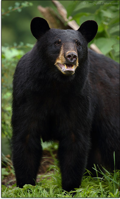 Canon EOS 5Ds Sample Photo of Black Bear