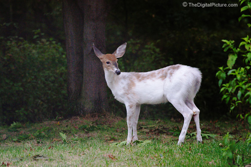 Piebald Whitetailed Deer Picture
