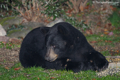 PA Black Bear Picture