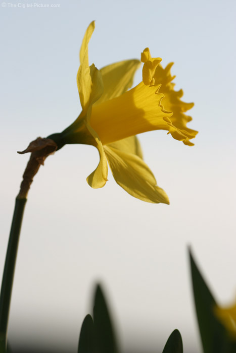 Daffodil and Sky Picture