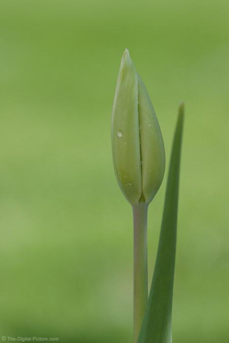 Tulip Bud Picture