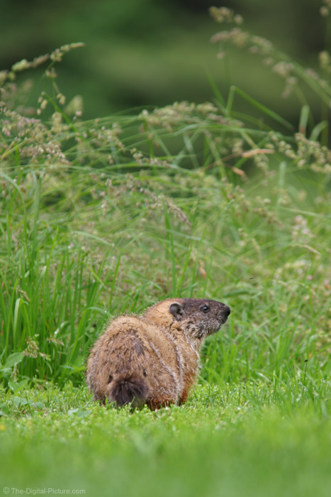 Groundhog Picture