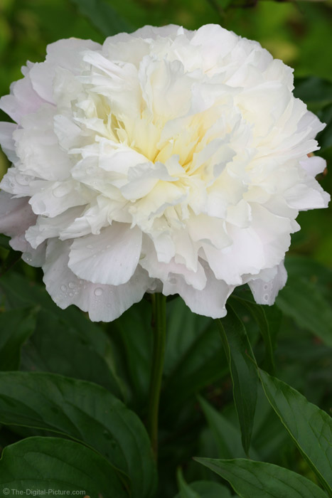 White Peony Picture