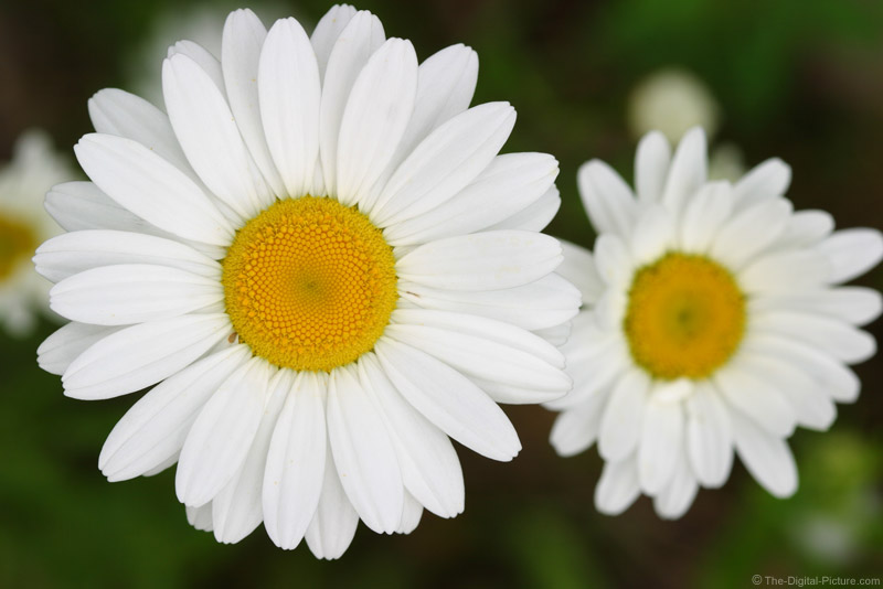 White Daisy 5