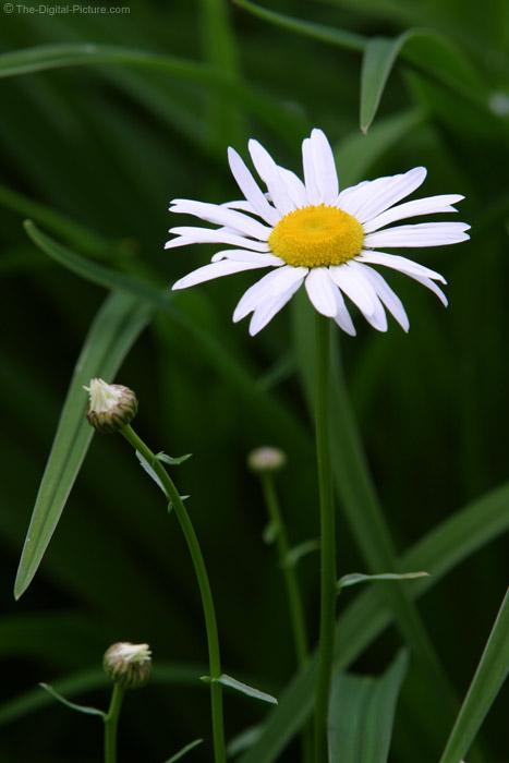 White Daisy 3