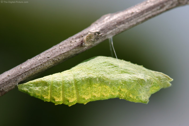 Black Swallowtail Chrysalis Picture