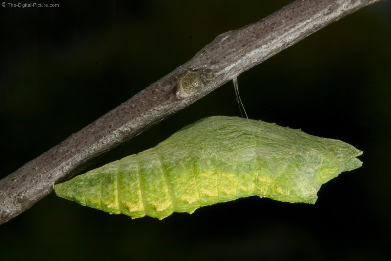 Chrysalis Picture