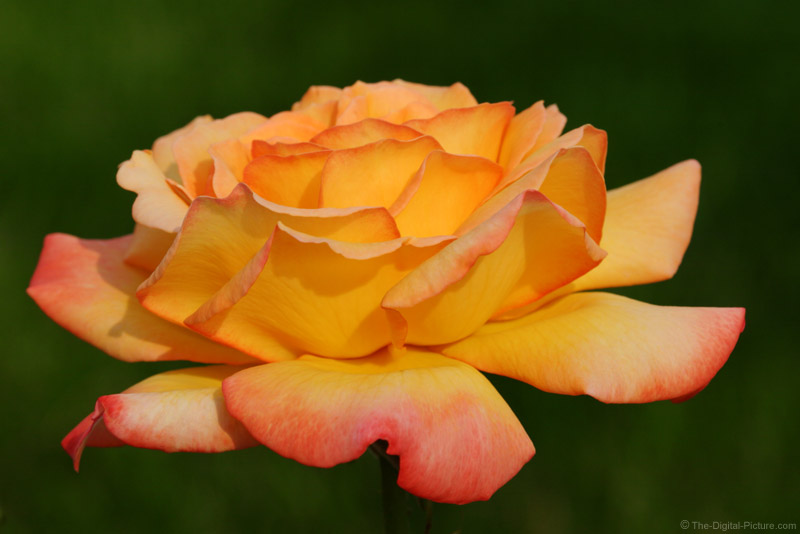 Yellow and Pink Rose Picture