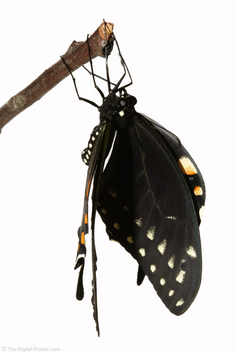 Butteryfly Drying Wings Picture