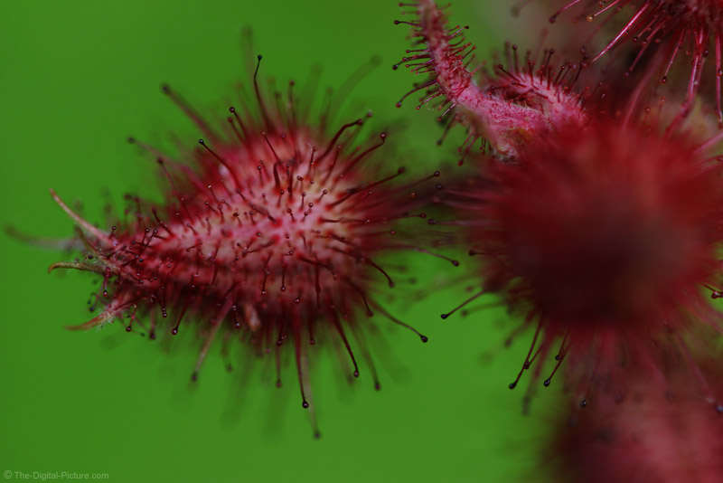 Wineberry Picture