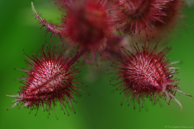 Wineberry Buds Picture