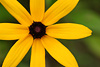Black-Eyed Susan 2