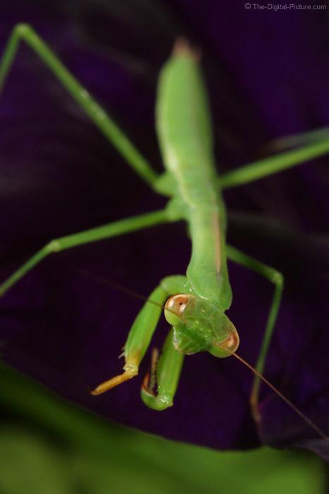 Baby Praying Mantis Picture