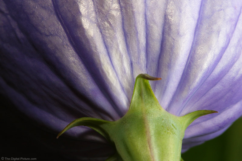 Balloon Flower Picture