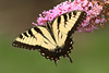 Tiger Swallowtail Butterfly 3