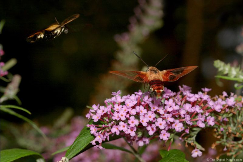 Snowberry Clearwing Moths