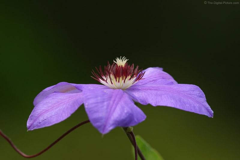 Clematis Flower 2