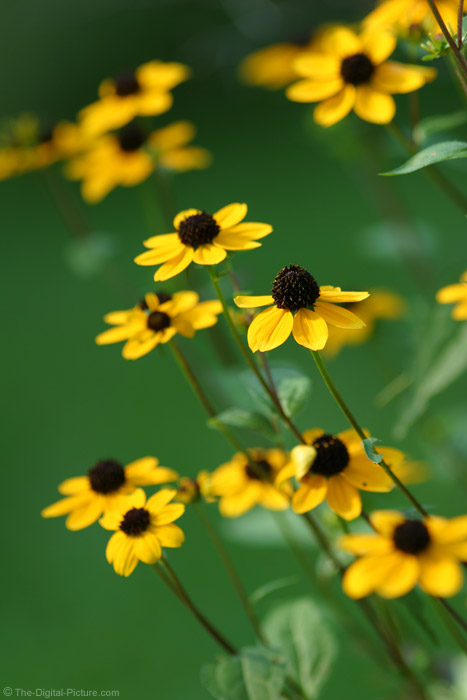 Black-Eyed Susan Flower 2