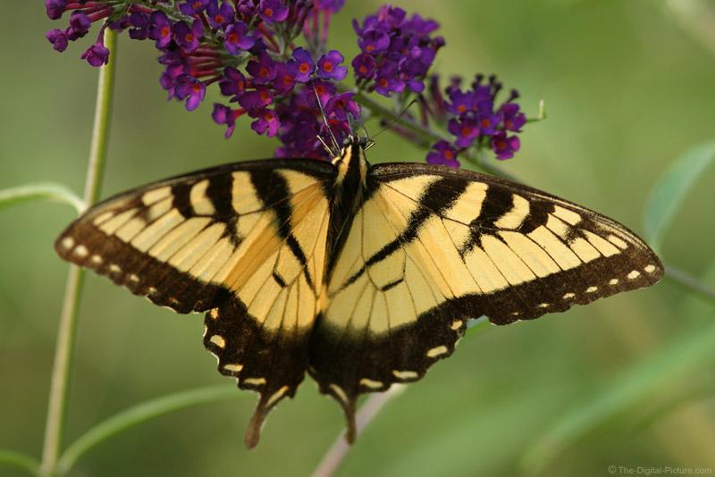 Tiger Swallowtail on Butterfly Bush 2