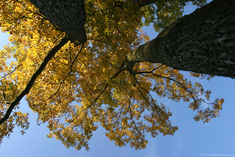 Fall Hickory Trees Picture