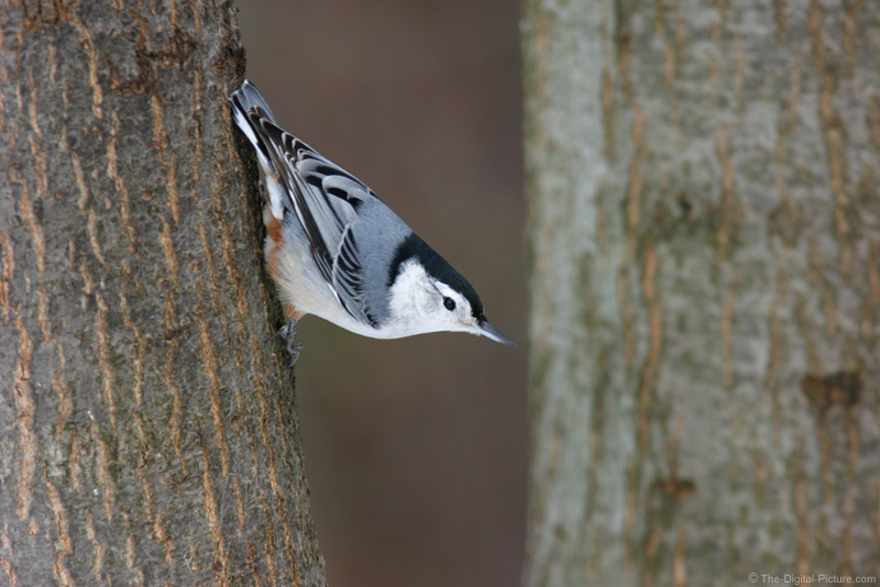 White-Breasted Nuthatch Picture