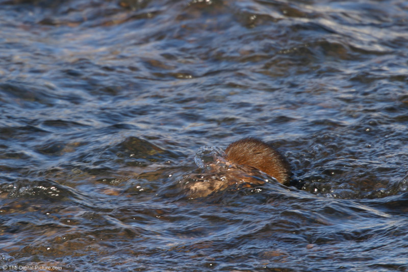 Muskrat Digging Picture