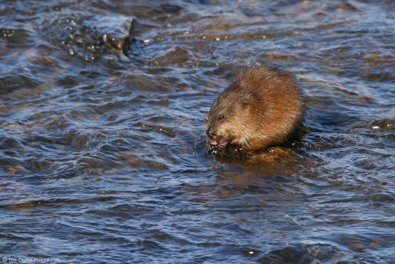 Muskrat Eating Lunch Picture