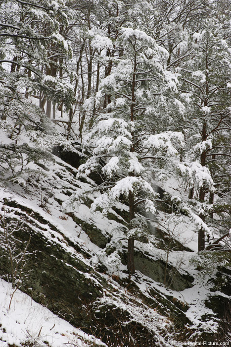 Hemlock Tree Picture