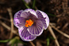 Purple Striped Crocus