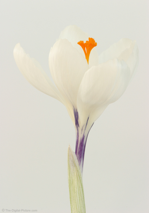 Subtle Crocus Picture