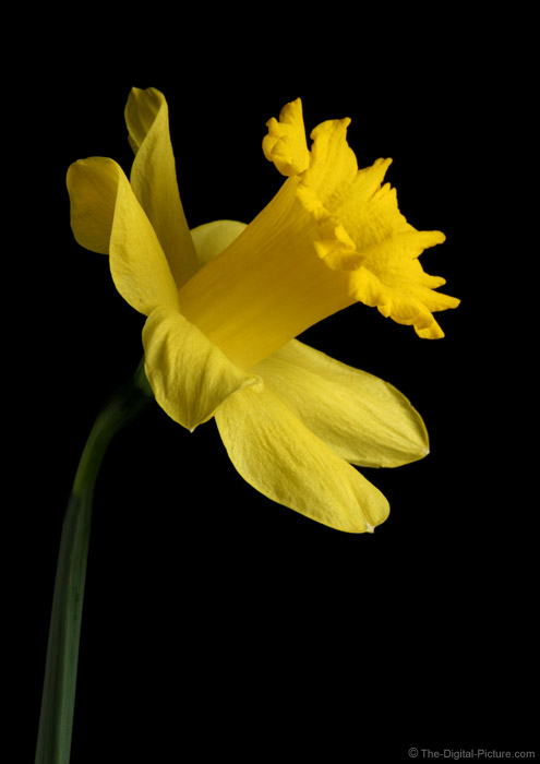 Spring Daffodil Picture