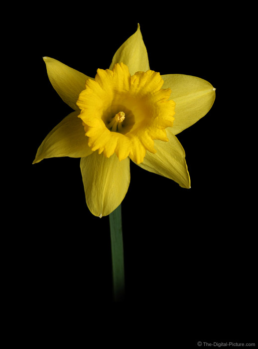 Yellow Daffodil Flower Picture