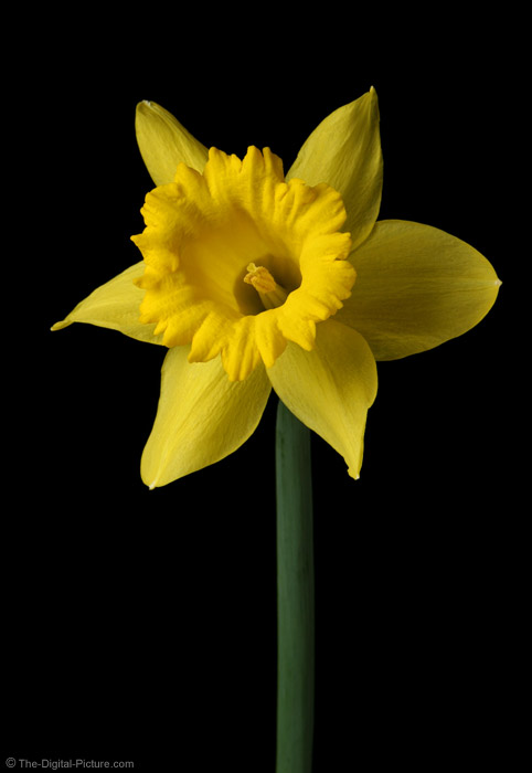 Daffodil Flower Picture