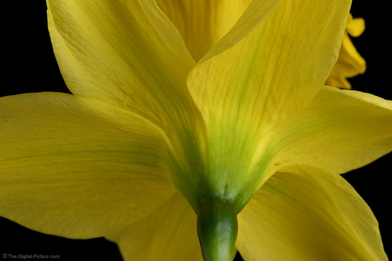 Daffodil Picture