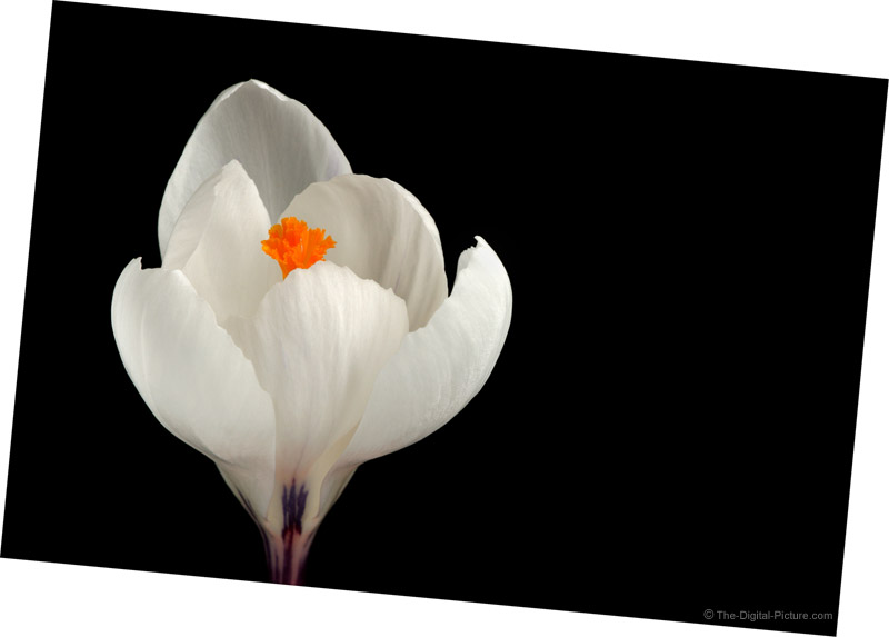 White Crocus Picture