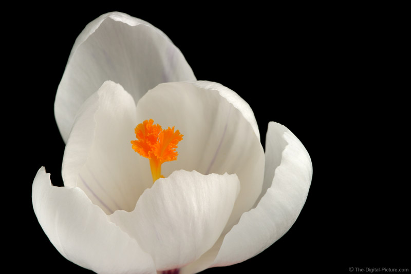 Crocus Flower Picture