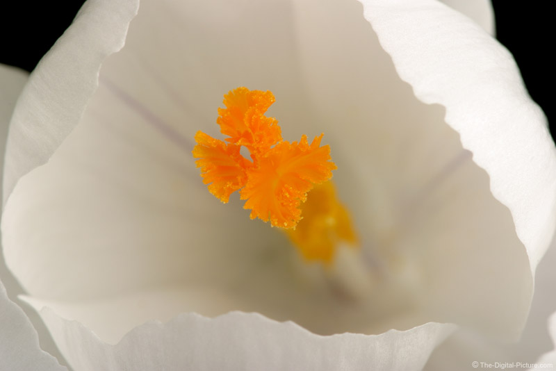 Crocus Closeup Picture
