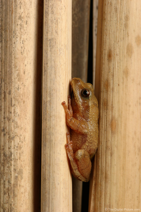 Spring Peeper Hiding Picture