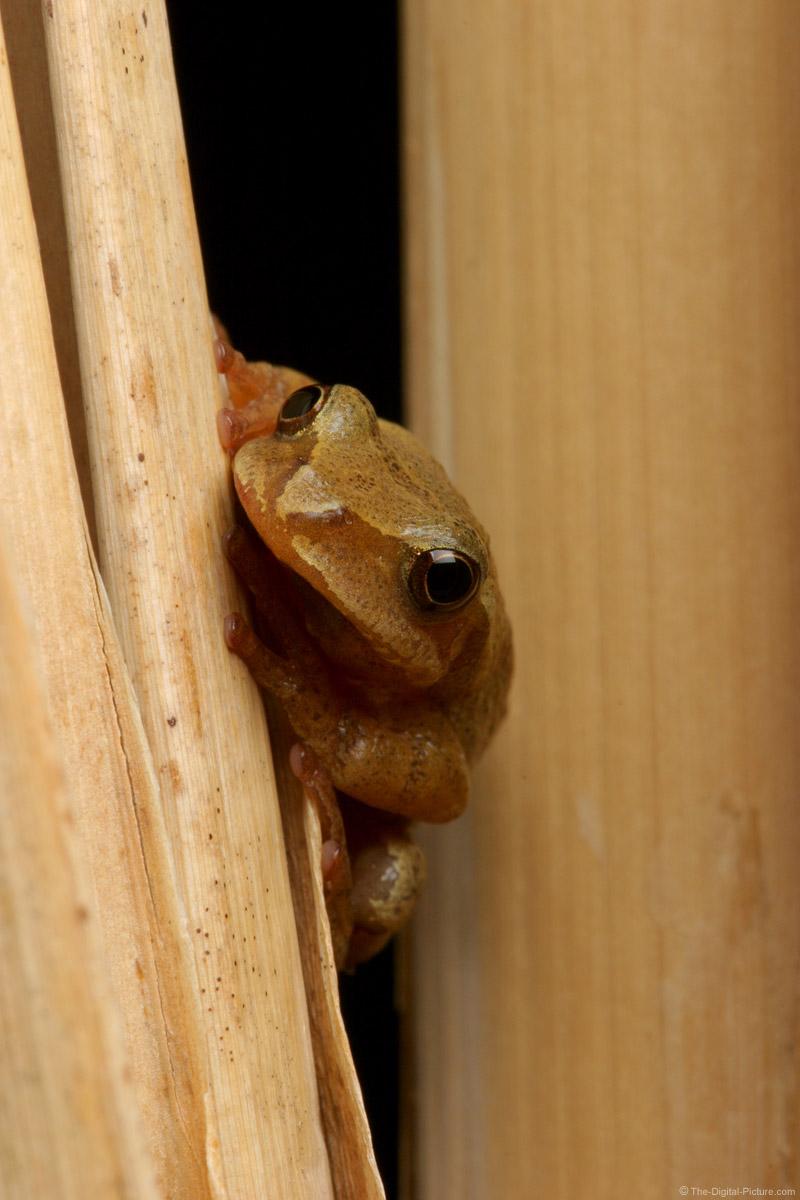 Spring Peeper Peeking Picture