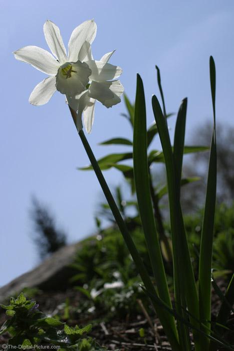 White Daffodil Picture