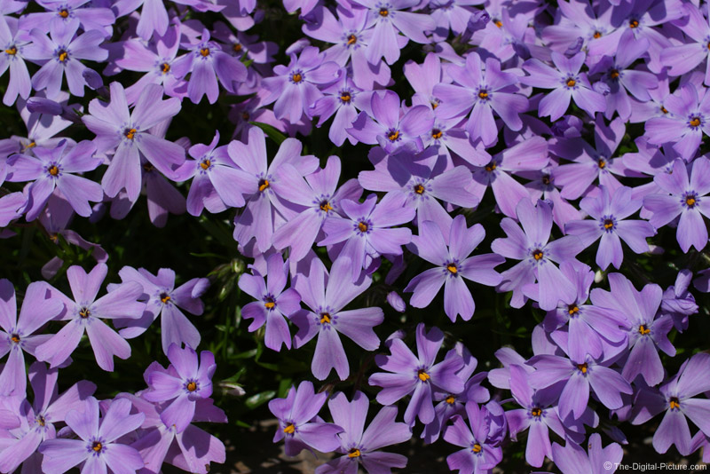 Purple Creeping Phlox Picture