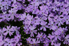 Purple Creeping Phlox Picture