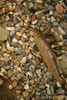 Brown Trout Picture